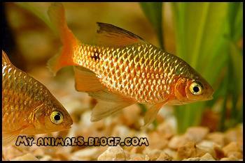 ماهی بارب طلایی