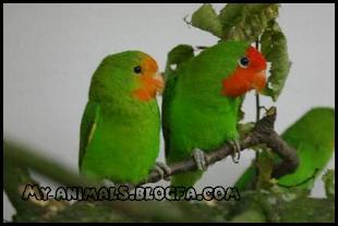 طوطی برزیلی صورت قرمز