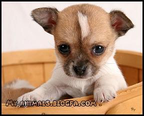 سگ شی هوا هوا Chihaahua