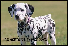 سگ دالماسین یا خالدار Dalmatian