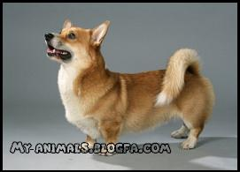 سگ ولشی کرگی Welsh Corgi