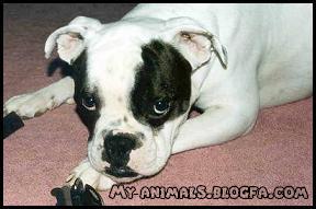 سگ بولداگ Bull Dog