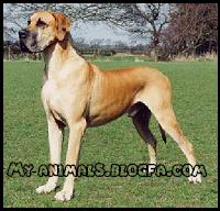 سگ گریت دین Great Dane