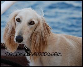 سگ سالوکی Saluki