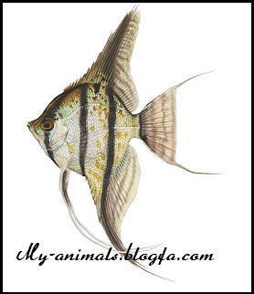 گونه های مختلف ماهی انجل