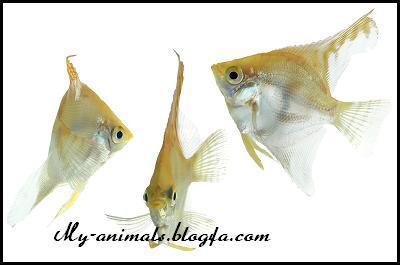 تکثیر ماهی انجل