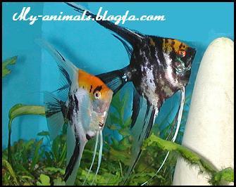 جنسیت ماهی انجل