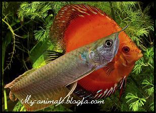 ماهی اروانا