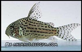 گربه ماهی کریدوراس