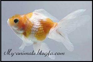 ماهی فلس مرواریدی