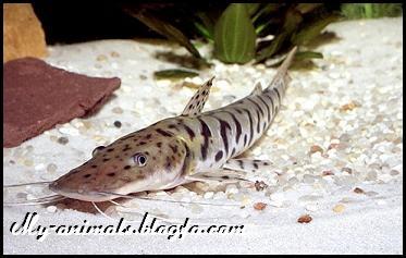 ماهی دراگون