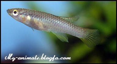 ماهی اپیلاتی