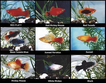 انواع نژاد های ماهی پلاتی