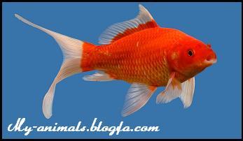 ماهی طلائی
