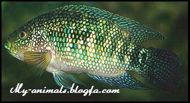 ماهی جکدمسپی
