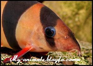 ماهی دلقک