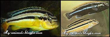 ماهی ملانوکرومیس