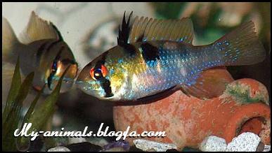 ماهی رامیرزی