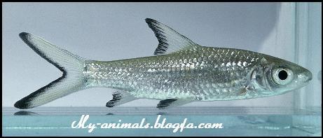 ماهی سیلور شارک