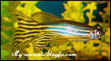 ماهی زبرا دانیو